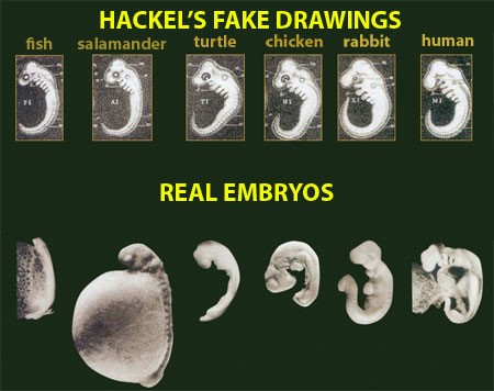 Fact or Fraud...Haeckels Drawings are just one example of fraudulent information being presented as fact in science textbooks.